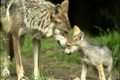 MEXICO GREY WOLF