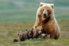 mother-bear-and-her-four-cubs_5699744a430d6